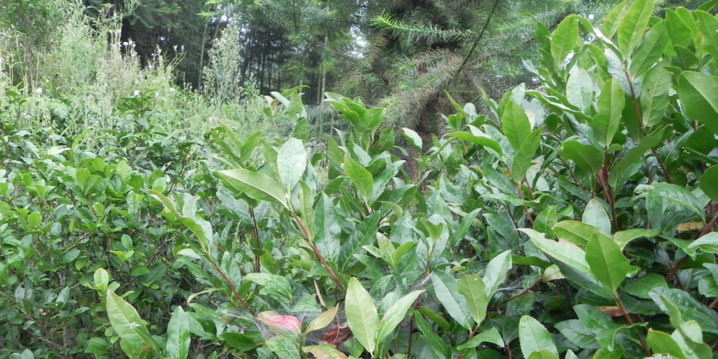 Wild tea plants